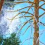 Pine-illuminated-by-the-sun